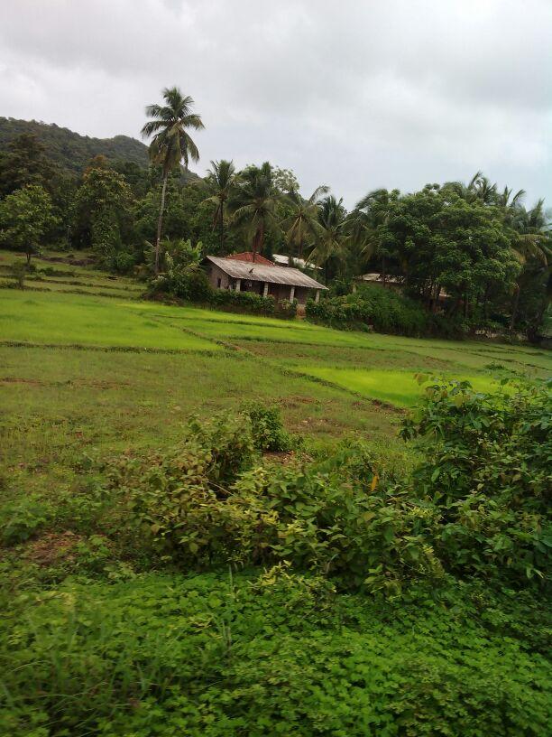 शेतातील हिरवळ