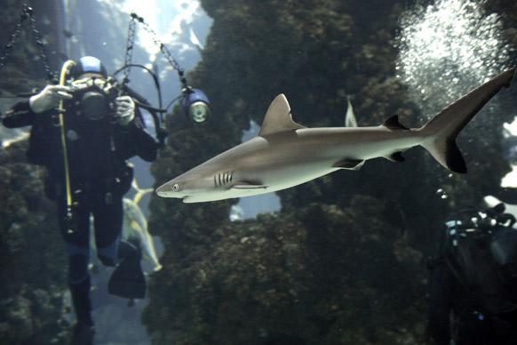 ग्रे रीफ शार्क