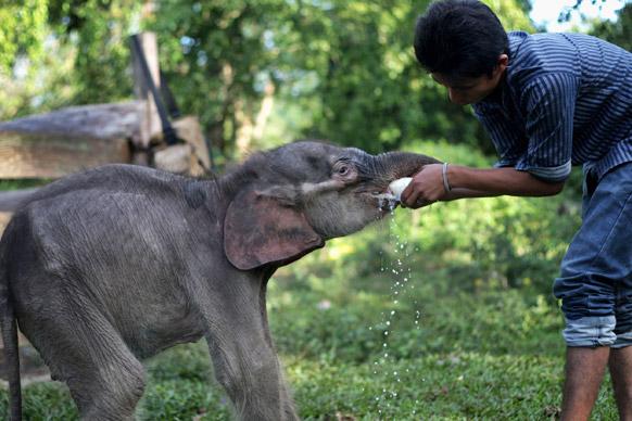 पाल्म तेल वृक्षारोपण येथे राजूला सापडलेल्या एक महिन्याचे बाळ असलेल्या सुमात्रन हत्तीला दूध पाजताना राजू..