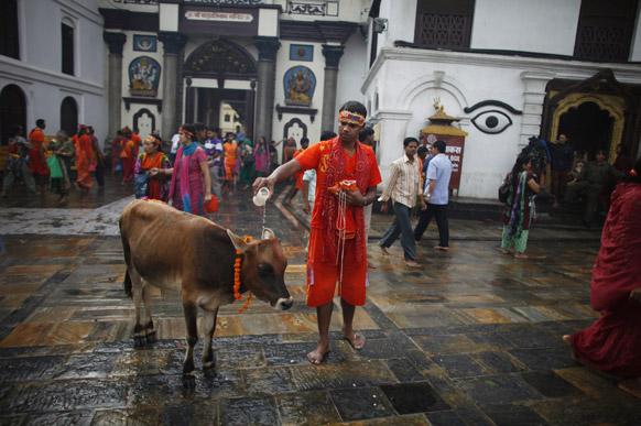 नेपाळमधील काठमांडू येथील पशूपतीनाथतच्या मंदिराबाहेर श्रावणातील पहिल्या सोमवारी हिंदू धर्मात पवित्र मानल्या जाणाऱ्या गायीवर पाणी ओतून पूजा करताना हिंदू नेपाळी भक्त