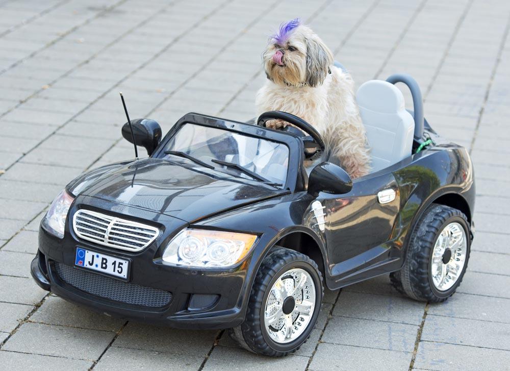 जर्मनीतल्या आतंरराष्ट्रीय डॉग आणि कॅट शोमध्ये एका रिमोट कंट्रोल कारमध्ये बसलेला कुत्रा...