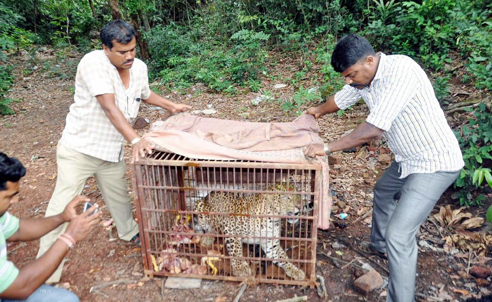 सिंधुदुर्गात असल्डे गावात 35 तासाने वनविभागाने विहिरीत पडलेल्या बिबट्याला रात्री बाहेर काढले.