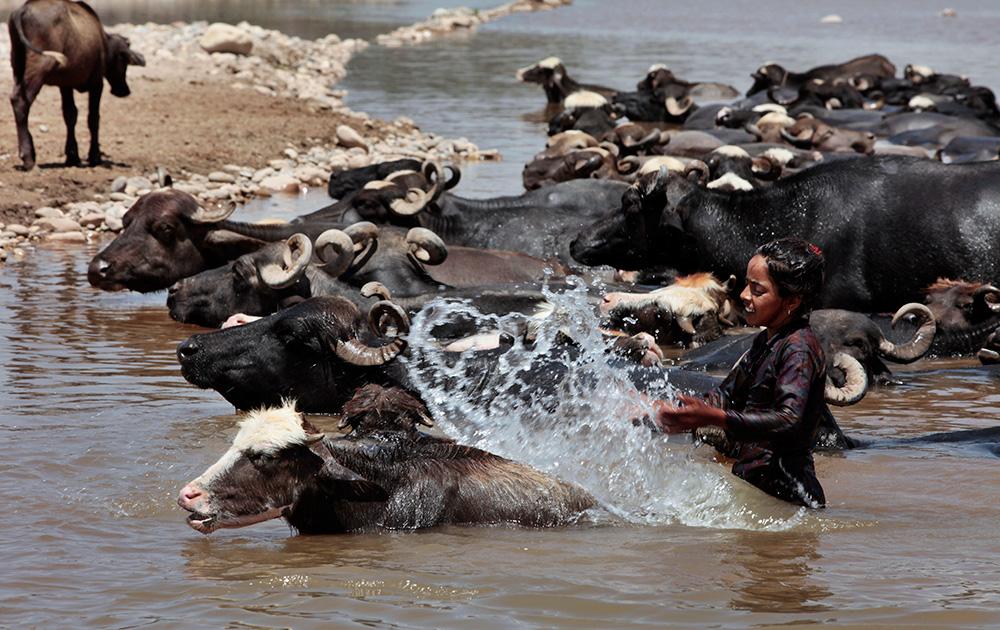 जम्मूतल्या तावी नदीत आपल्या म्हशींना धुतांना ही तरुणी...