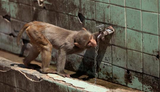 तहानेनं व्याकुळलेल्या या माकडानं असं नळाचं पाणी प्यायलं... (जम्मू)