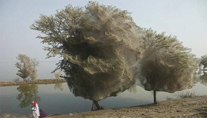घोस्ट ट्री(झपाटलेले झाड) पाकिस्तान पाकिस्तानमध्ये झालेल्या अनेक पूरानंतर या झाडाचे दृश्यसमोर आलाय. खरंतरं पूर आल्यानंतर अनेक कोळ्यांनी या झाडाभोवती वेढा घातला असून त्याला जाळीनी विणलं आहे.