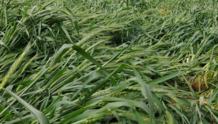 अवकाळी पावसामुळे शेतीचं मोठं नुकसान