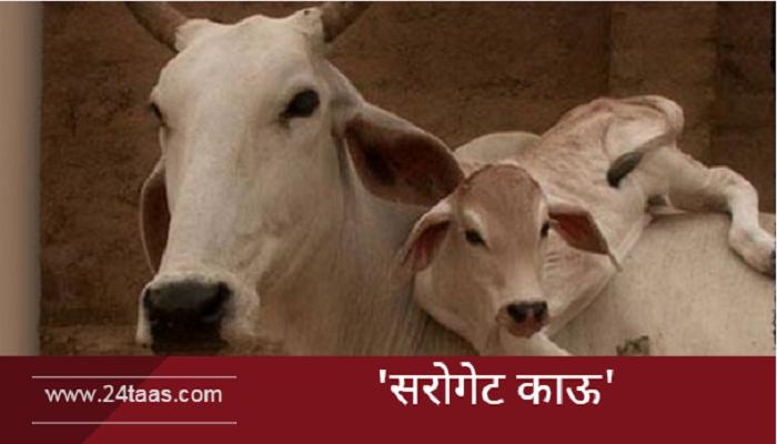 देशी गाईंच्या कृत्रिम गर्भधारणेचा प्रयोग यशस्वी!