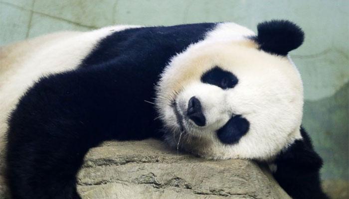 जगातील सगळ्यात वृद्ध पांडा 'बासी' चे निधन