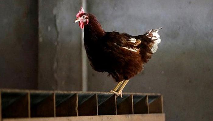कोंबडीवर अत्याचार करणाऱ्याला पोलिसांनी केली अटक