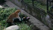 चित्तथरारक! प्राणिसंग्रहालयात वाघाचा महिलेवर हल्ला