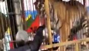 व्हिडिओ : वाघाच्या पिंजऱ्यात घात घालणं पडलं महागात