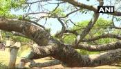 ७०० वर्ष जुनं झाडं आजारी पडल्याने, झाडाला लावली 'सलाईन'