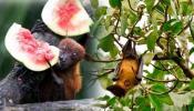 निपाह व्हायरसची दहशत ; ही ३ फळे चुकूनही खावू नका