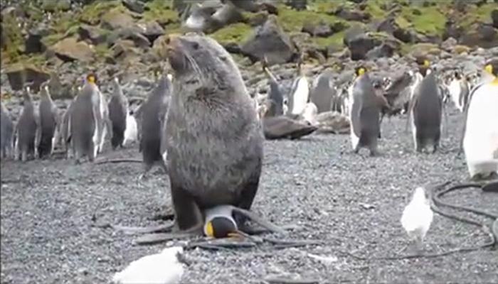 धक्कादायक : 'पेंग्विन'वर बलात्कार करून 'सील'नं बनवलं भक्ष्य!