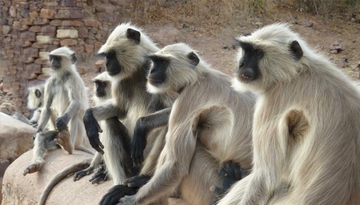 माकडांना आधीच कळले की भूकंप येणार?