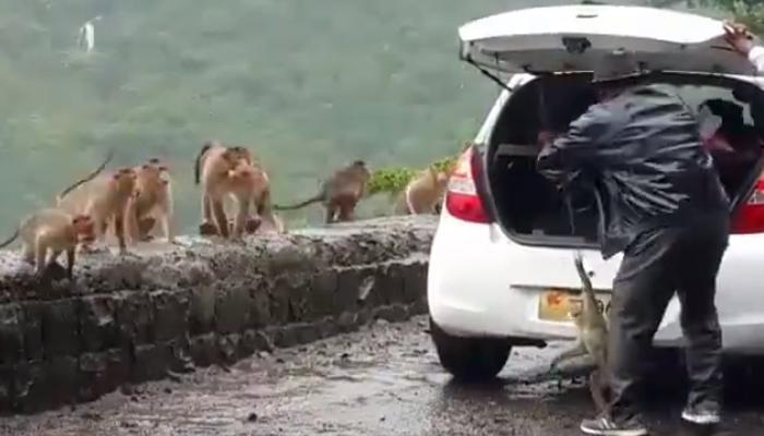 झी इम्पॅक्ट : अखेर तो 'माकड तस्कर' सापडलाच!