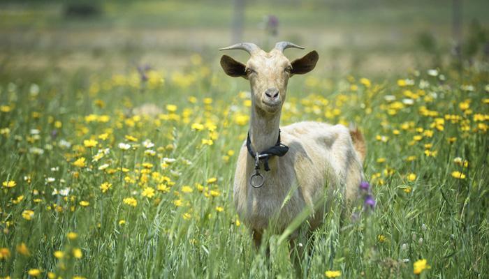 बकरीचं दूध आणि पपईची पानं डेंग्यूवर रामबाण उपाय