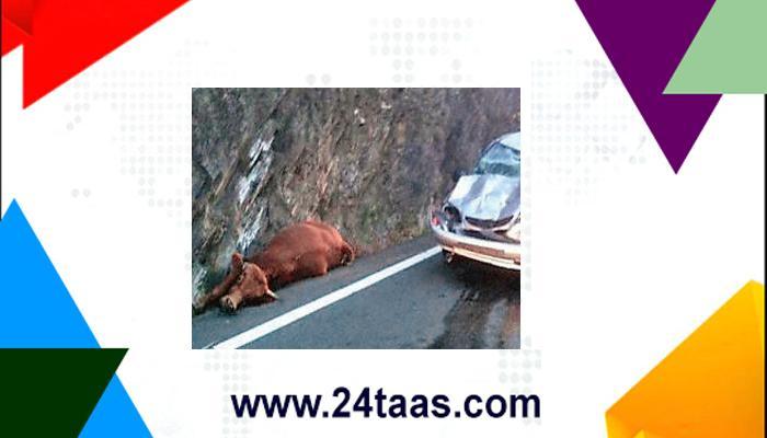 फ्रान्समध्ये आकाशातून पडली कारवर ५०० किलोची गाय