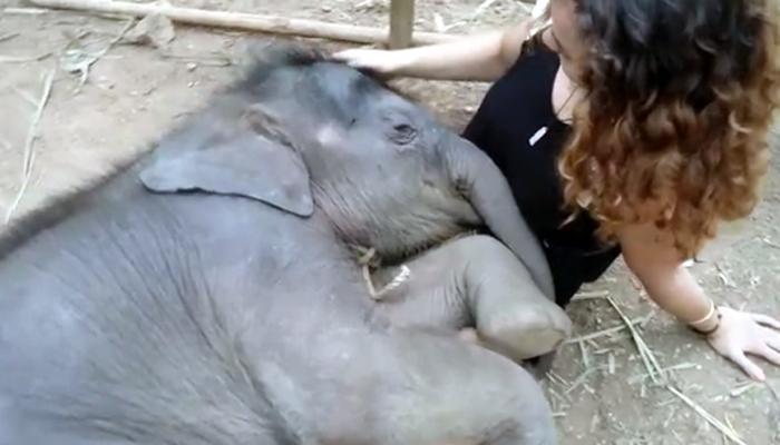महिलेच्या कुशीत झोपले हत्तीचे पिल्लू