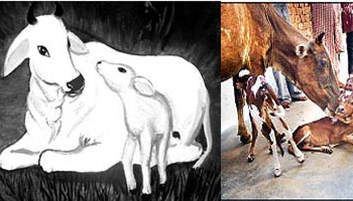 गाईच्या बाबतीत काही रंजक गोष्टी, वाचून तुम्ही व्हाल हैराण
