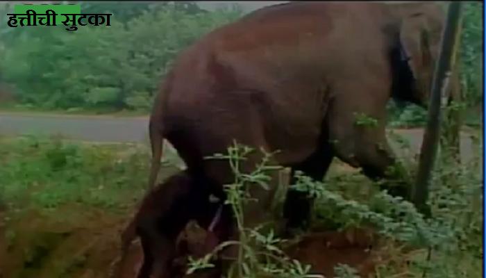 पाहा हत्तीणीचा आपल्या नवजात बाळासह खड्ड्यातून बाहेर पडण्याचा संघर्ष