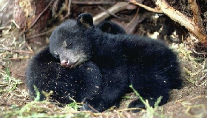 अख्ख्या गावानं केलं अस्वलाचं बाळंतपण!