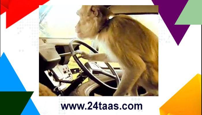 ड्रायव्हरच्या सीटवर बसून जेव्हा माकडानं घेतला बसचा ताबा!