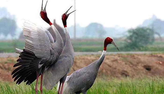 झी स्पेशल : जोडीदारावर जीव ओवाळून टाकणारा सारस पक्षी!