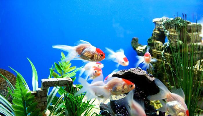 अॅक्वेरियममध्ये किती मासे असावेत?