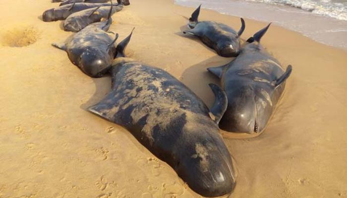तमिळनाडूच्या समुद्रकिनाऱ्यावर 'बेशुद्ध' व्हेल माशांची गर्दी!