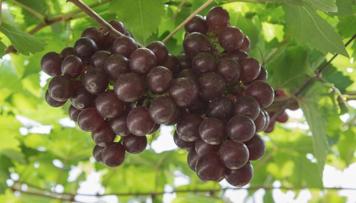 काळ्या द्राक्षांचे 10 फायदे, वाचाल तर रोज खाल