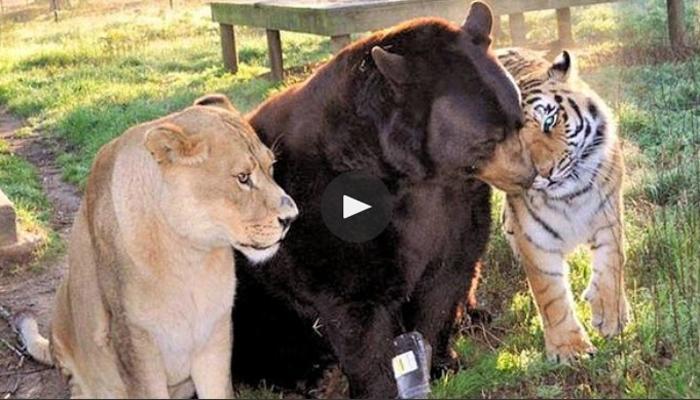 व्हिडिओ : बालू, लिओ आणि शेरेची अनोखी मैत्री वायरल
