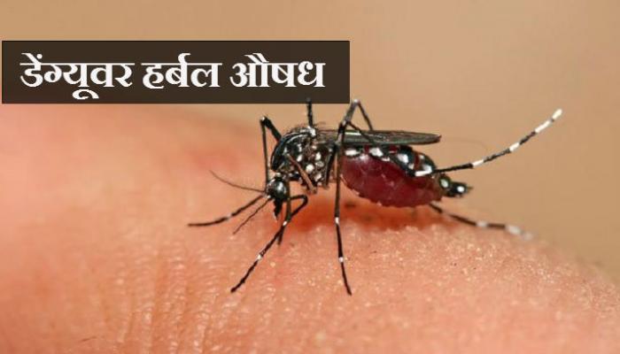 भारतीय शास्त्रज्ञांकडून डेंग्यूवर हर्बल औषध