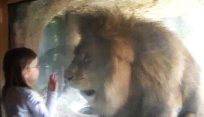 या चिमुरडीच्या निरागस किसला सिंहाने पाहा कशी दिली प्रतिक्रिया