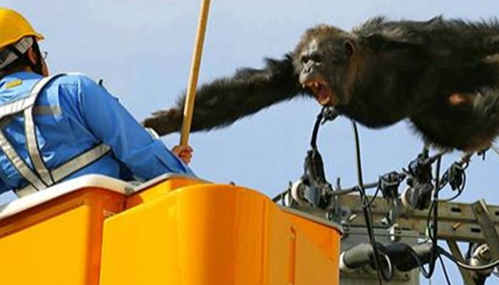 हाय टेन्शन वायरला लटकले चिम्पाजी, त्यानंतर काय झाले ते पाहा...