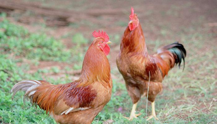 कल्याणमध्ये कोंबड्या पाळणं पडलं महागात