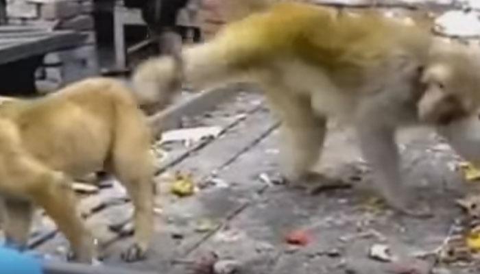VIDEO : माकड जेव्हा कुत्र्याची शेपूट पकडून गरगर फिरवतो...