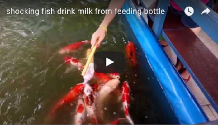 पाण्यात पोहणाऱ्या माशांना दूध पितांना पाहिलं का....