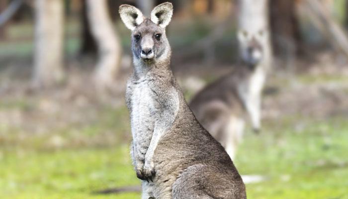 ऑस्ट्रेलिया २ हजार कांगारूंना संपवणार