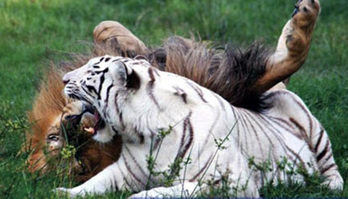 शिवसेनेचा भाजपवर मार्मिक निशाणा...वाघाचा नाद करायचा नाय!
