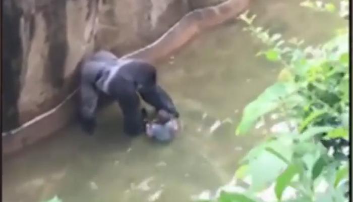video : गोरिलाच्या पिंजरात जेव्हा चिमुकला पडला
