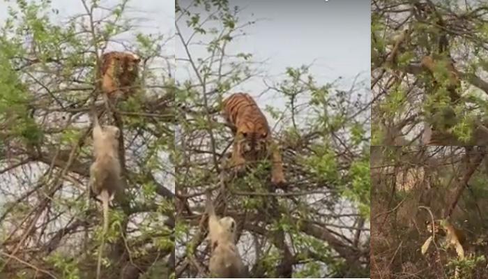 एकाच झाडावर माकड आणि वाघ : पाहा बुद्धिमत्तेच्या जोरावर शिकार टाळली माकडाने, व्हिडिओ व्हायरल