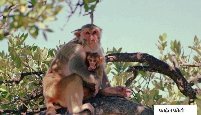 एका माकडामुळे अख्खा देश अंधारात
