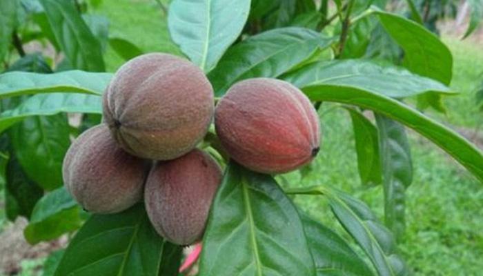 हे फळ काही मिनिटांत कॅन्सर नष्ट करतं