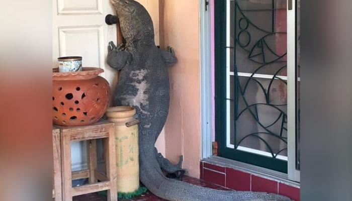 गॉडझिला जेव्हा दार ठोठावतो... प्रचंड पालीचा घरात घुसण्याचा प्रयत्न