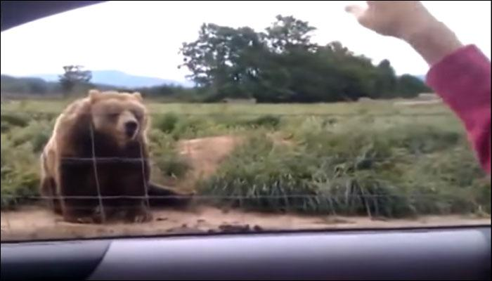 महिलेला पाहिल्यानंतर अस्वलाची अनपेक्षित प्रतिक्रिया, व्हिडिओ व्हायरल