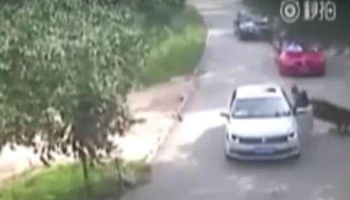 धक्कादायक : महिलेला कार जवळून फरफटत घेऊन गेला वाघ