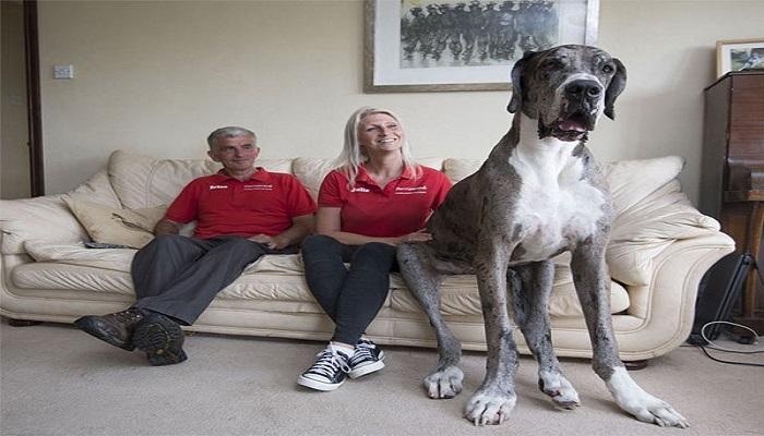 ७ फुटाचा हा कुत्रा बनवणार वर्ल्ड रेकॉर्ड
