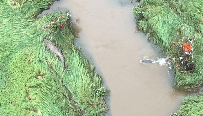 महाड पूल दुर्घटना : मगरींच्या दहशतीने शोध मोहीमेत अडथळा