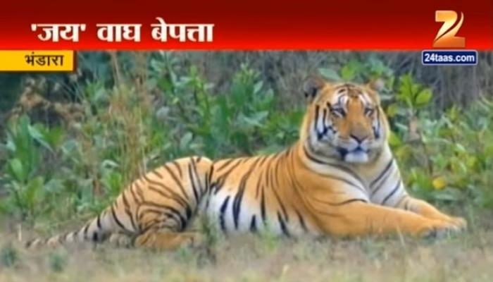 बेपत्ता 'जय' वाघाची शिकार?